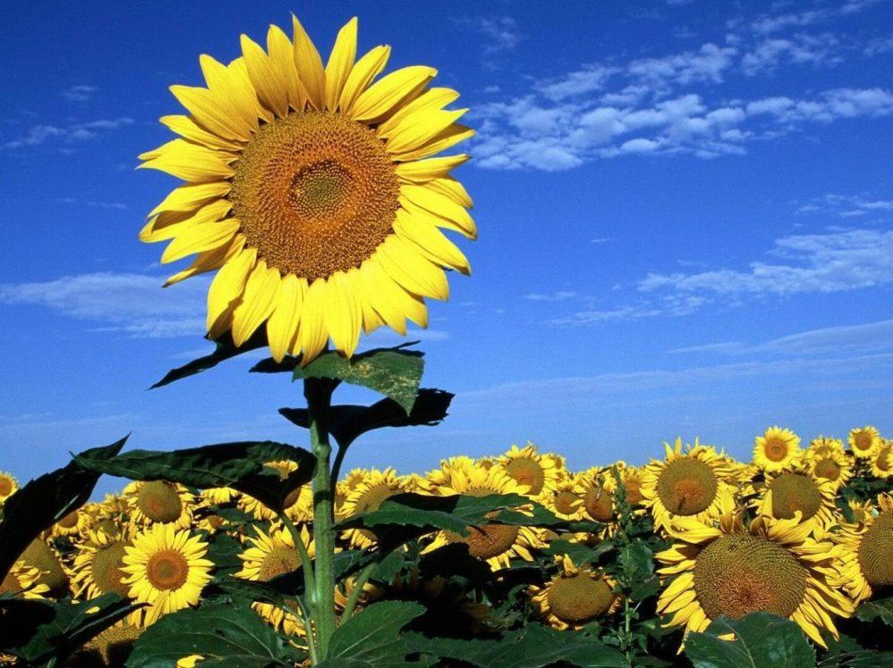 Bí quyết chụp ảnh với hoa hướng dương cho người mới bắt đầu